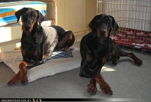 adorable,bed,begging,casual,cute,doberman pinscher,hanging out,irresistible,noms,nonchalant,puppy eyes,subtlety