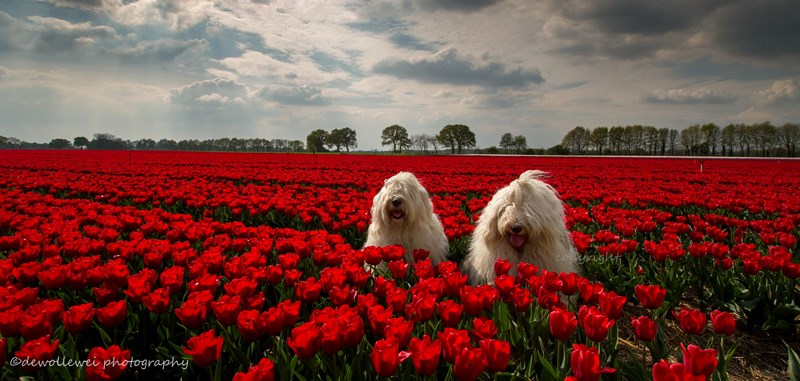 two sheperd dogs in Holland