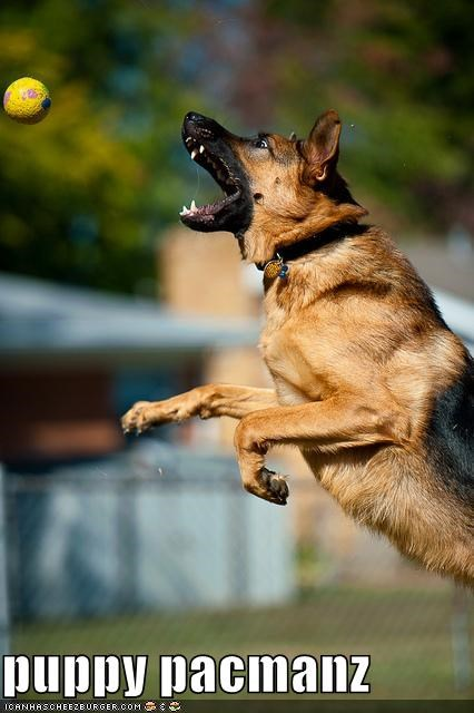 awesome ball catching fetch german shepherd jumping pacman - 4065666560