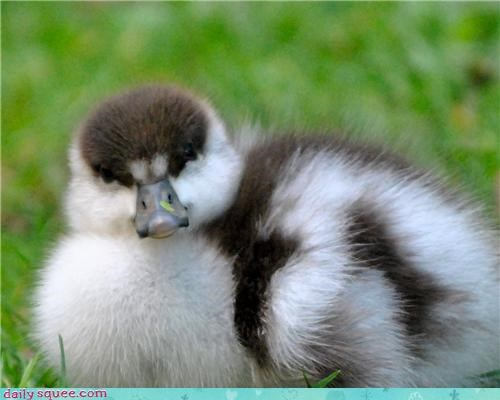baby duck floof - 4066566912