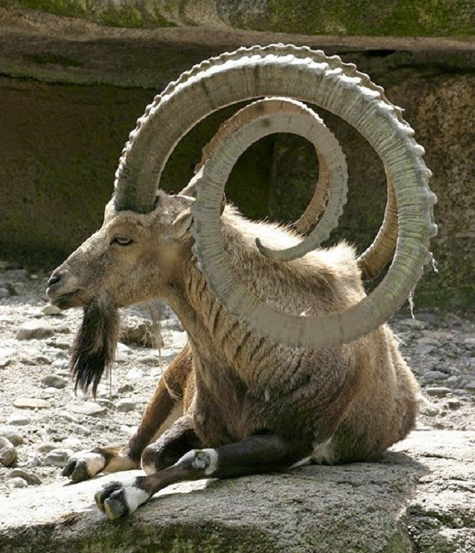 unique goat horns
