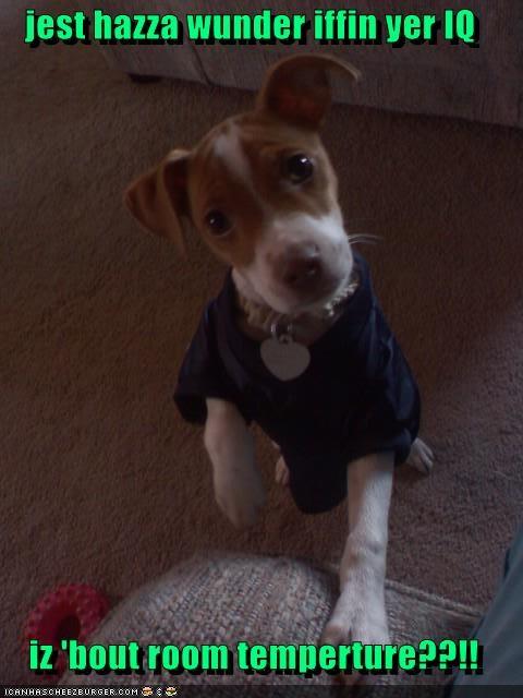 comparison dressed up IQ jack russell terrier mocking puppy question room temperature sweatshirt wondering - 4068909056