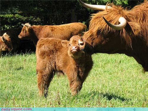 baby,cow,mama