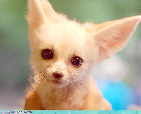 baby face fennec - 4069152768