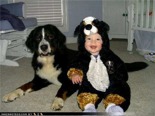 baby bernese mountain dog better this way costume cute dressed up Hall of Fame reversal themed goggie week - 4069425408