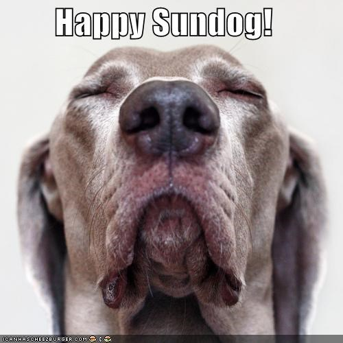 close up content eyes closed face happy sundo Sundog weimaraner