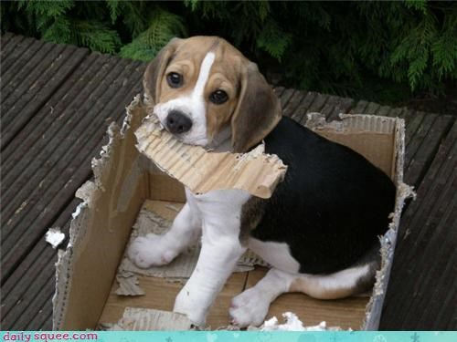 beagle,mess,puppy