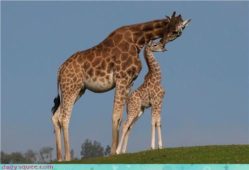 Gilmore Girls giraffes nerd jokes - 4073932032