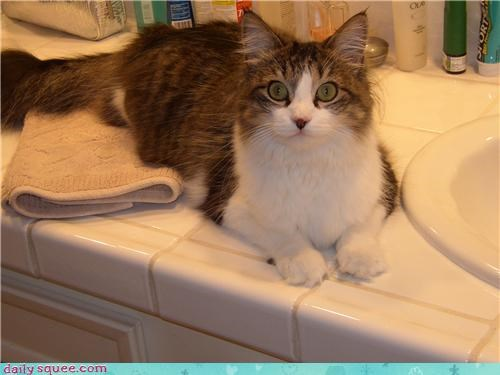 bathroom,cat,drinking,maine coon,pet,reader squee,sink,water