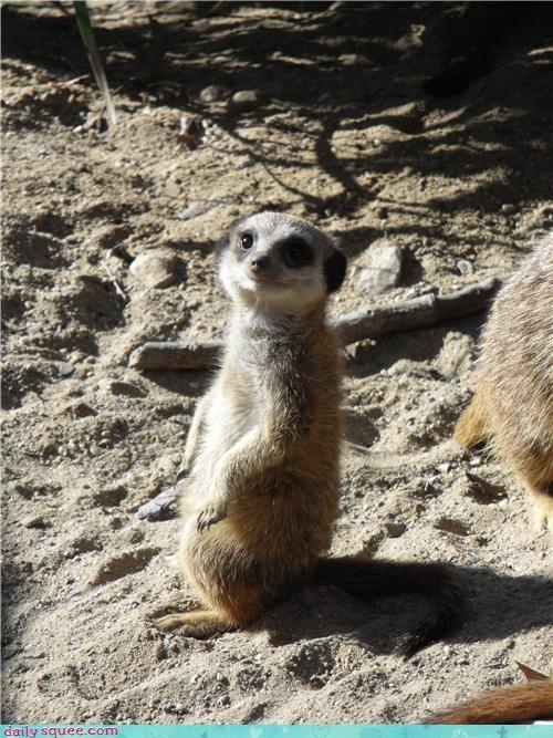 baby face meerkat - 4075517184