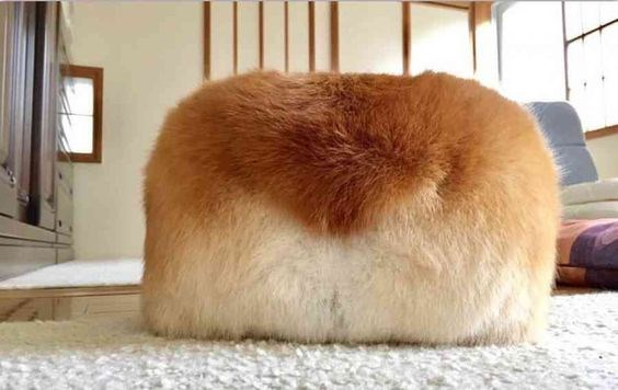cute corgi butts