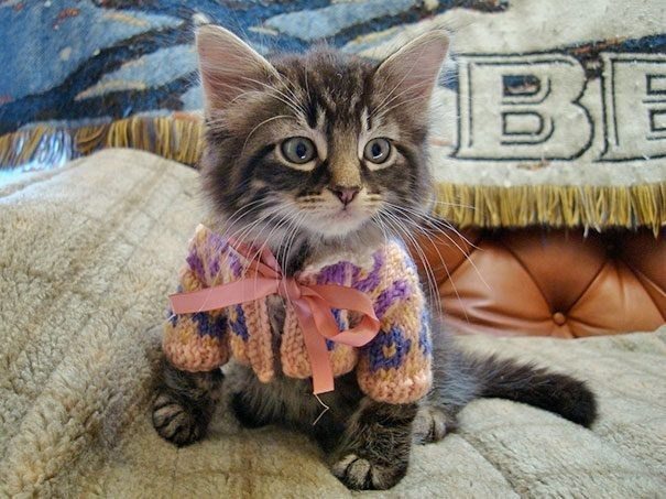 an adorable cat in a sweater, list for animals in sweaters | cute kitten wearing a knitted sweater with a bow tied at the front