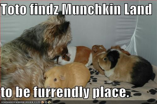 guinea pig,munchkin,wizard of oz,yorkshire terrier