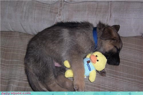 Day of Rest german sheperd puppy - 4079286016
