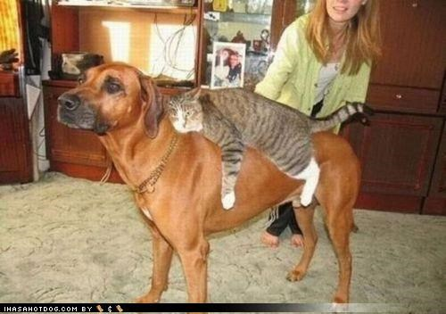 cat cute friendship kittehs r owr friends lazy mixed breed mounted noble riding rottweiler steed - 4081161984