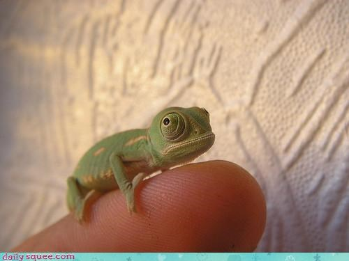 baby tiny finger chameleon lizard
