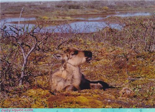 baby caribou smug - 4084353280