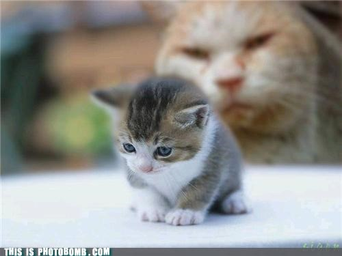 Animal Bomb animals Cats it is a cruel world kitteh photobomb Son I Am Disappoint