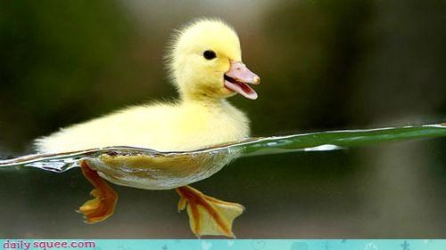 baby bird duck - 4085154304