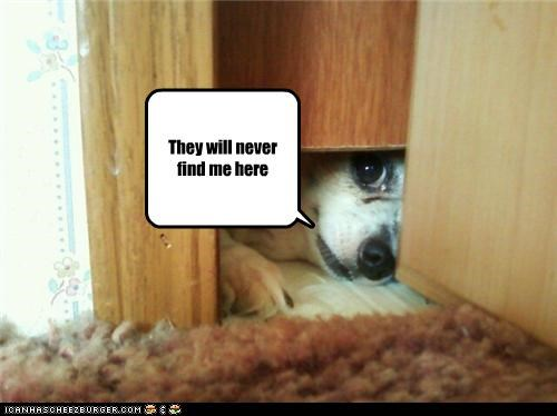 chihuahua content here hiding peeking theyll-never-find-me - 4088044800
