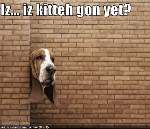 afraid,basset hound,cat,hiding,kitteh,question,themed goggie week,waiting