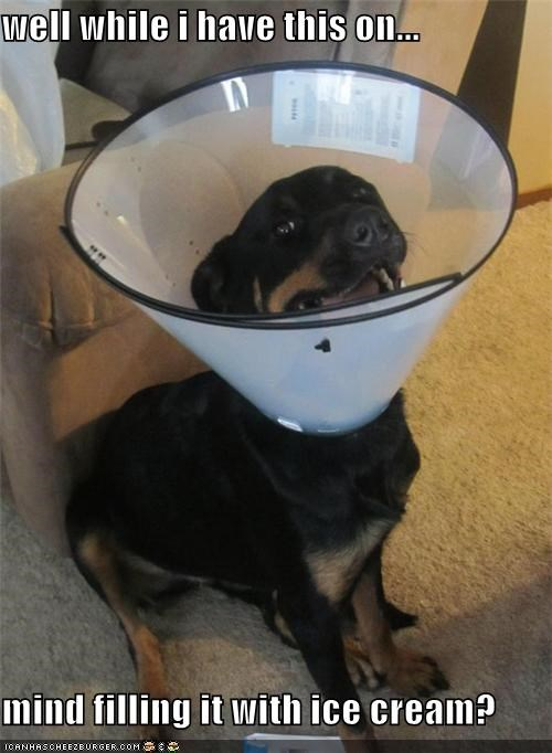 cone of shame,fill it,ice cream,improvising,pragmatism,puppy,question,request,rottweiler,would-you-mind
