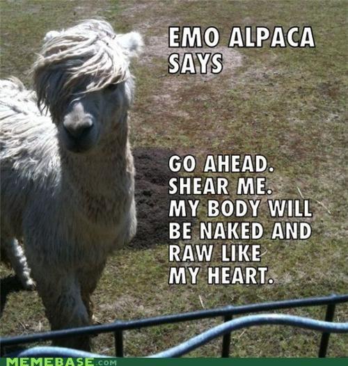 alpaca emo llama Memes shear - 4088843776