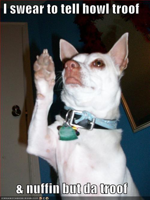 chihuahua court howl pun raise right hand swear tell testimony truth - 4088864768