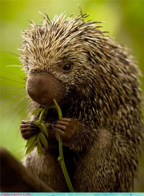 squee porcupine noms spines hug - 4090917888