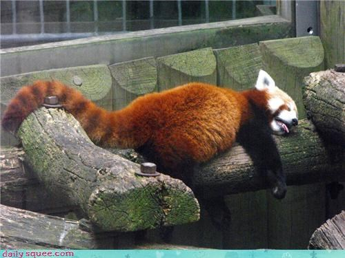 red panda,log,tongue,tail,nap attack,squee,sleeping