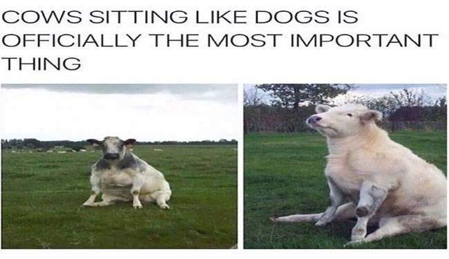 a funny list of cows sitting like dogs