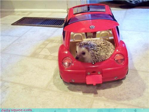 hedgehog,pet,reader squee,road trip,toy car