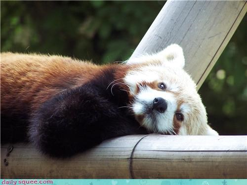 hot red panda squee spree