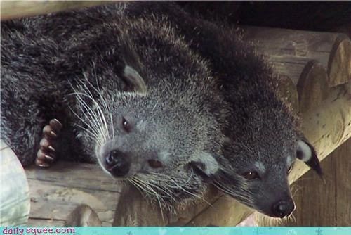 bear bearcat binturong binturong smells like popcorn cat