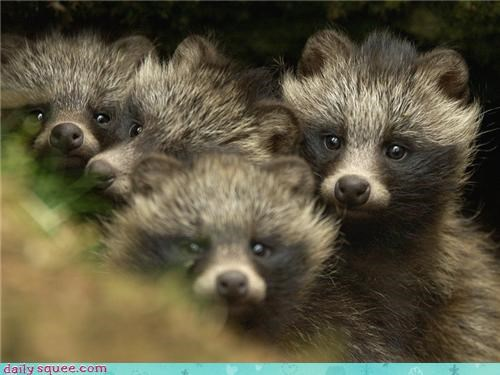 pups,raccoon dog,tanuki