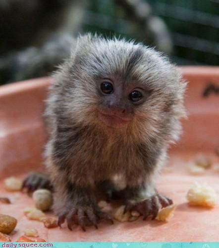 marmoset monkey smile - 4101312256