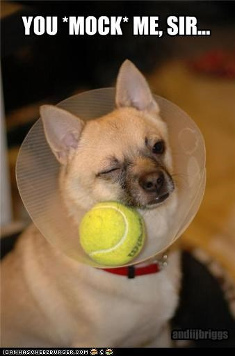 ball,cant,chihuahua,cone of shame,mixed breed,mocking,Reach,sir,spite,torment,upset