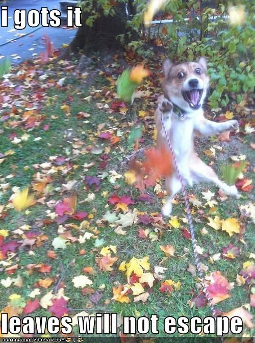 corgi determined escape excited herding i got it jumping leaves reaching will not