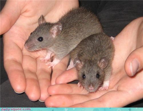 cute pet rat siblings - 4102590464