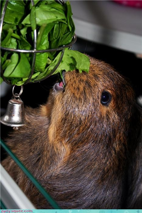 guinea pig noms pet reader squee spinach squee veggies - 4104653056
