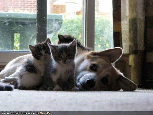 cat,corgi,cute,fuzz,kittehs r owr friends,kitten,tickles,tickling,ticklish