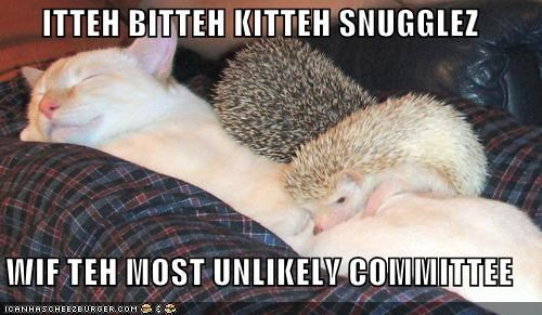 caption,captioned,cat,committee,hedgehog,itteh bitteh kitteh,itty bitty kitty committee,kitten,most,snuggles,unlikely