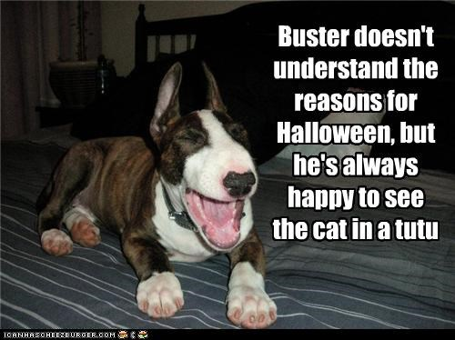 bull terrier,cat,doesnt-understand,dressed up,halloween,happy,howloween,laughing,reasons,schandenfreude,tutu