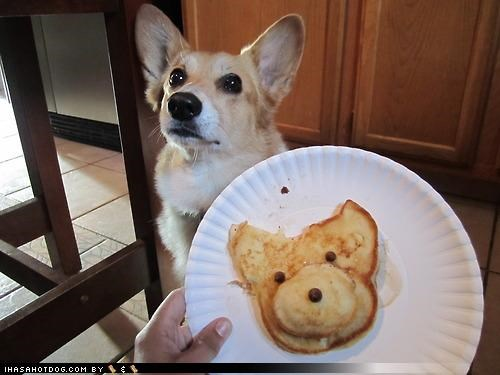 corgi,cute,Hall of Fame,hungry,image,likeness,neat,noms,pancake,please,question,resemblance