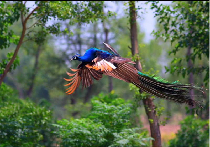 a list of pretty peacocks flying