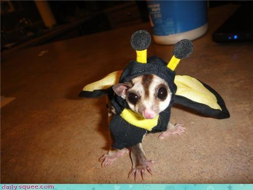 bee Bumblebee costume dogs sugar glider - 4106967808