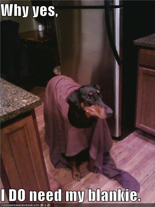 blanket,blankie,bundled up,doberman pinscher,I Do,mixed breed,need,yes