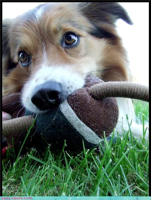 collie,pretty,puppy
