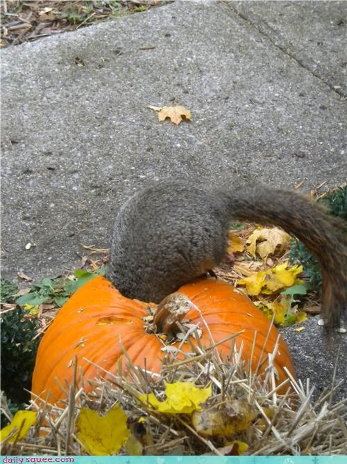 noms pumpkins squirrel - 4114389248
