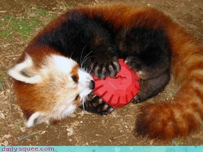 cute playful red panda